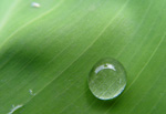 Green leaf with raindrop.