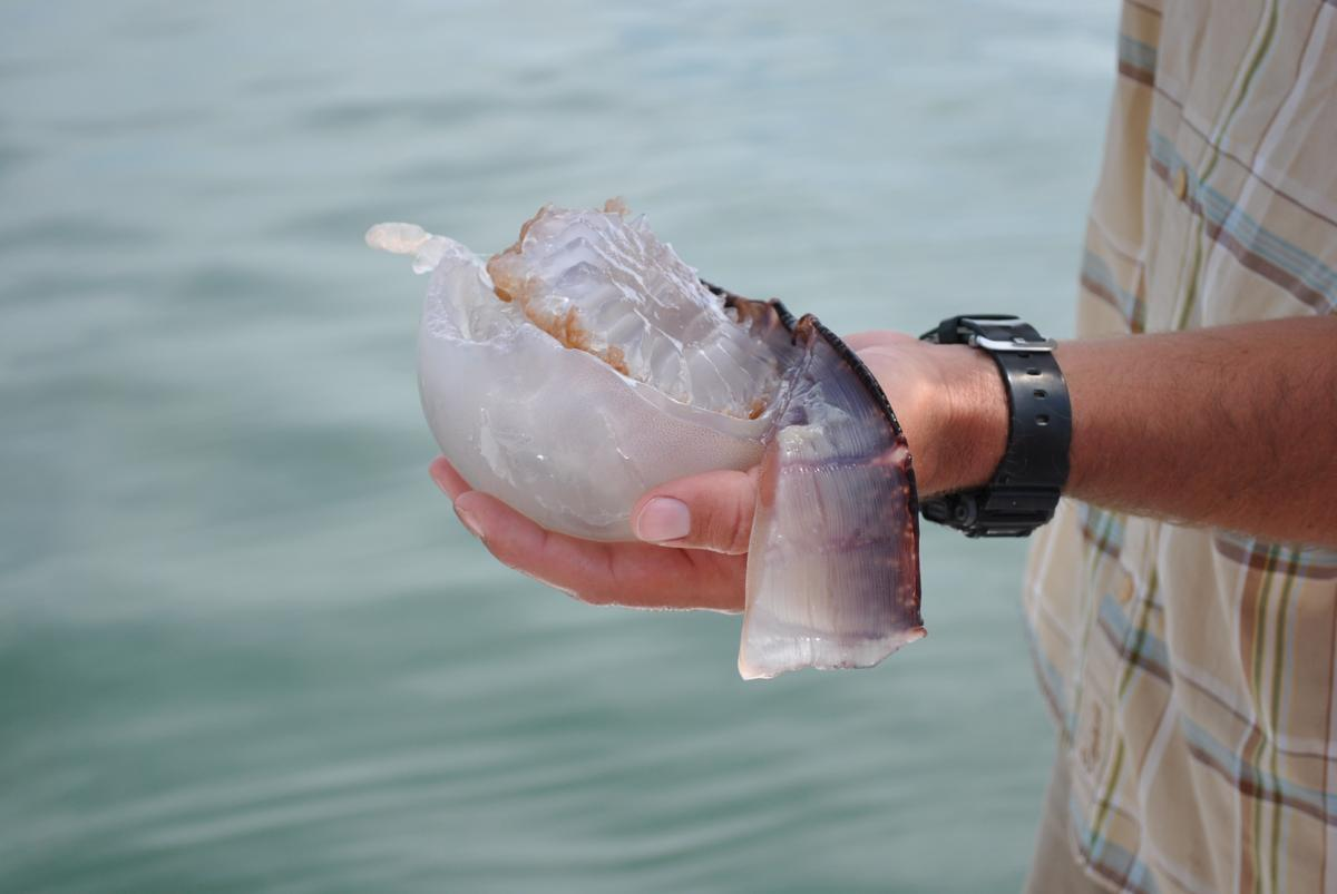 St. Augustine Eco Tour Guide holding the box jelly fish.