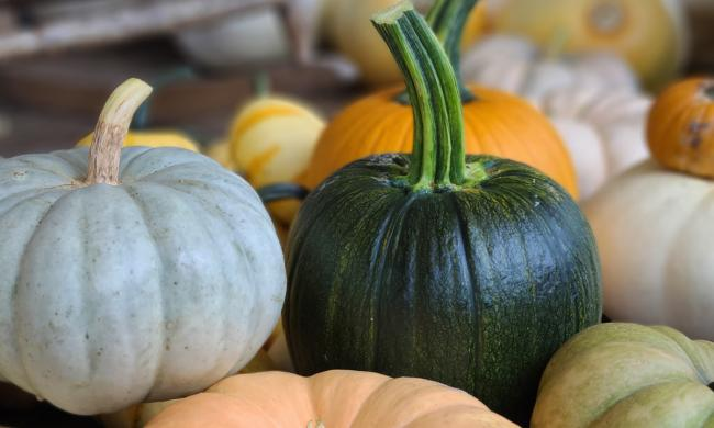 Pumpkins and squash can be picked at the Pumpkin Festival.