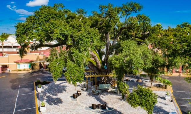 """""""Old Senator"""" Live Oak tree, at over 600 years old, this is the oldest resident in St. Augustine."""