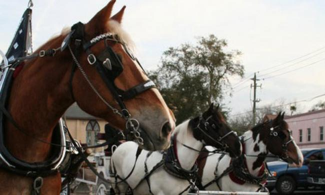 Beautiful horses in charming downtown St. Augustine, Fl.