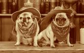 Old time photo of pugs in St. Augustine, FL